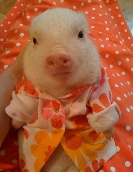 It's a pig with a dress