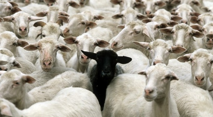 Many white sheep and in the middle a black sheep