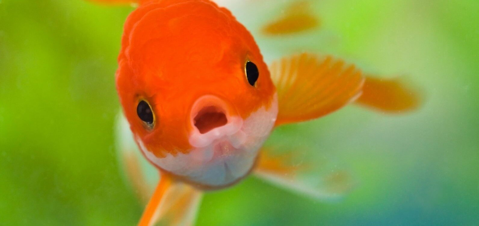 Goldfish with an open mouth