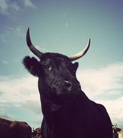 a black bull