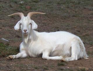 It's a white goat