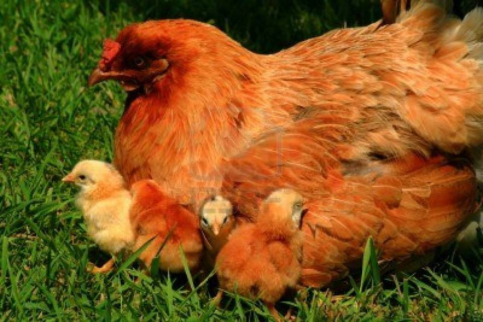 It's a children with his chicks